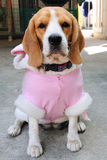Beagle puppy wear pink party suit. Stock Image