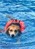 Beagle puppy wearing orange life suit Swimming in the pool. Beagle puppy wearing orange life suit Swimming in the pool, exercise, physical therapy of the dog stock photo