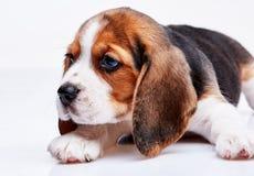 Beagle puppy on white background Royalty Free Stock Photo