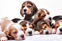 Beagle puppy on white background Stock Photography