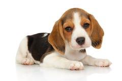 Beagle puppy on white background royalty free stock photos