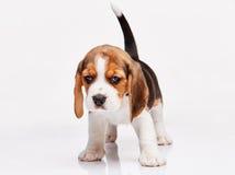 Beagle puppy on white background Stock Photos