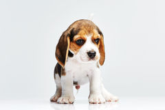 Beagle puppy on white background Royalty Free Stock Photography