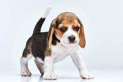 Beagle puppy on white background Royalty Free Stock Image