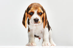 Beagle puppy on white background Royalty Free Stock Images