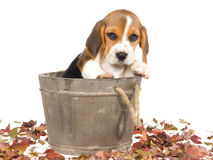 Beagle puppy in wooden barrel Royalty Free Stock Image