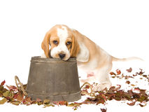 Beagle puppy with wooden barrel Royalty Free Stock Photo