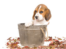 Beagle puppy in wooden vat Stock Photography