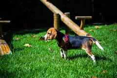 Beagle puppy in yard