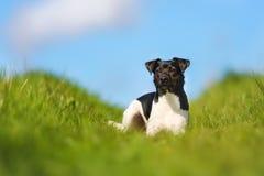 3 beagle 4 purebred psi widok Zdjęcie Royalty Free