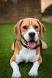 Beagle que coloca en la hierba Foto de archivo libre de regalías