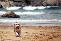 Beagle que corre en el sol Tiempo de la playa Fotos de archivo