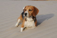 Beagle que descansa en la arena Foto de archivo libre de regalías