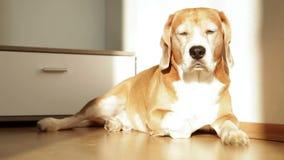 Beagle que dormita que goza del sol después del almuerzo agradable almacen de video