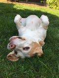 Beagle que goza del sol Foto de archivo