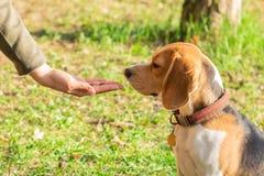 Beagle que huele la comida seca para el animal doméstico Los beagles se alimentan desde las manos fotos de archivo libres de regalías