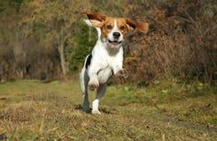 Beagle que se ejecuta en parque del otoño Imágenes de archivo libres de regalías