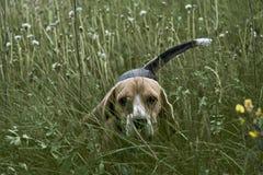 Beagle que se escabulle Imágenes de archivo libres de regalías
