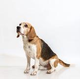 Beagle que se sienta Fotos de archivo