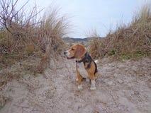 Beagle que se sienta comfortablemente en la playa en el hueco en dunas foto de archivo