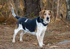 Beagle rabbit dog Royalty Free Stock Photos