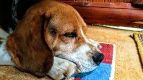 Beagle relajante Fotos de archivo libres de regalías
