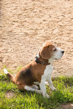 Beagle  relaxing after fun. Stock Images