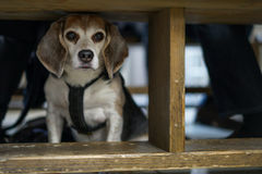 Beagle. In a restaurant under a table royalty free stock photos