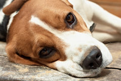 Beagle resting. Stock Photography