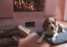 Beagle resting on the floor by the fireplace . Beagle dog resting on the floor by the fireplace stock image