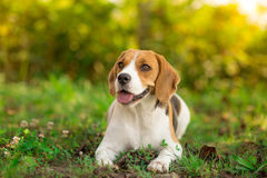 Beagle resting in garden Royalty Free Stock Photography