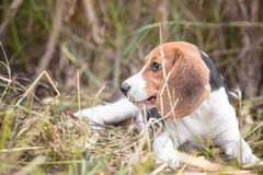 Beagle resting in nature Royalty Free Stock Photos