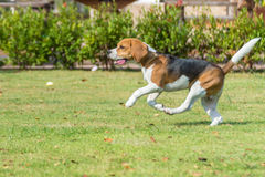 Beagle run Royalty Free Stock Photos