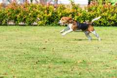 Beagle run Royalty Free Stock Photo