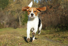 Beagle running in autumn park Royalty Free Stock Photo