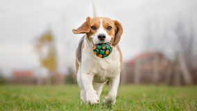 Beagle running with ball Stock Image
