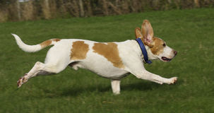 Beagle running free Royalty Free Stock Photography