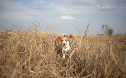 Beagle running happy over the meadow Royalty Free Stock Photos
