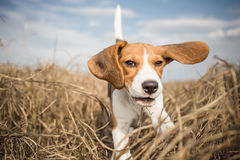 Beagle running in nature Royalty Free Stock Images
