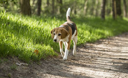 Beagle running smile in the grass.  Stock Photo