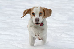 Beagle running in snow. Front view of Beagle running in snow Royalty Free Stock Photography