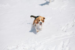 Beagle running in snow Royalty Free Stock Images