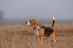 The Beagle runs and frolics at the spring walk royalty free stock photography