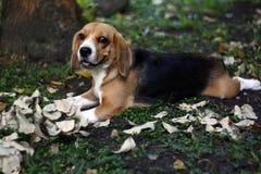 Beagle's playtime Royalty Free Stock Photo