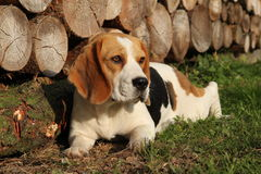 Beagle´s portrait. With wood log backround Stock Photo