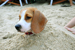 Beagle in the sand Royalty Free Stock Photos