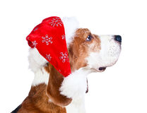 Beagle in Santa hat isolated on white Stock Photos