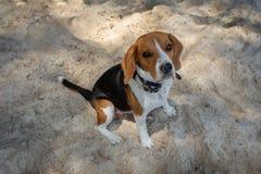 Beagle on the sea beach. The dog has a collar. stock images