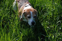 Beagle searching in the grass Stock Photo