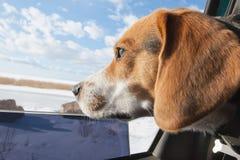 Beagle sen Zdjęcia Royalty Free